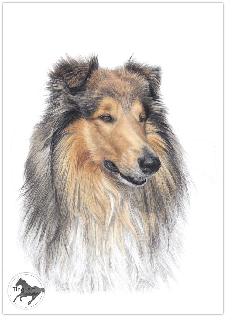 Collie, Langhaarcollie, Zeichnung, Hundezeichnung, Tierportrait, Hundeportrait, Buntstift, Buntstiftzeichnung, drawing, animal art, animal artist, Auftragszeichnung, Tier zeichnen lassen