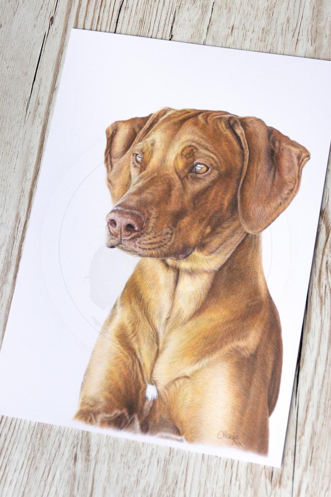 Buntstift, Hund, Hundeportrait, Tierportrait, Zeichnung, zeichnen, Buntstift, Farbstift, Auftrag, Auftragsarbeit, Tierzeichnung, Hundebild, Hund zeichnen lassen, Tier malen lassen, Rhodesian Ridgeback