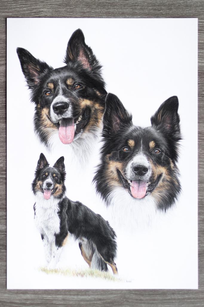 Hund, Zeichnung, Buntstift, Collie, Bordercollie, Auftrag